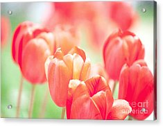 Tulips In The Sun Acrylic Print