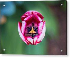 Tulip's Inner Sanctum Acrylic Print