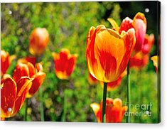 Acrylic Print featuring the photograph Tulips by Joe  Ng