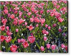 Tulips Acrylic Print by Matthias Hauser