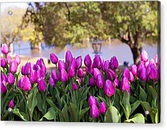 Tulips On The Cane River Acrylic Print