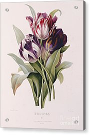Tulips Acrylic Print by Pierre Joseph Redoute