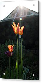 Tulips Acrylic Print by Stephen Norris