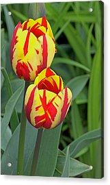 Tulips Acrylic Print by Tony Murtagh