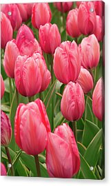 Tulips (tulipa 'design Impression') Acrylic Print by Adrian Thomas/science Photo Library