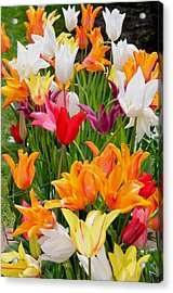 Acrylic Print featuring the photograph Tulips Tulips by Haleh Mahbod