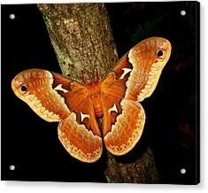 Acrylic Print featuring the photograph Tuliptree Silkmoth by William Tanneberger