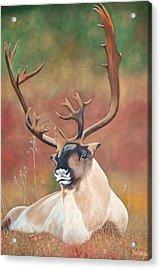 Tundra Caribou Acrylic Print