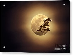 Tundra Swans And Moonglow Acrylic Print by Ron Sanford