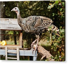 Turkey Antics Acrylic Print by VLee Watson