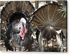 Turkey Acrylic Print by Debbie Cundy