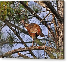 Turkey In A Tree Acrylic Print by Al Powell Photography USA