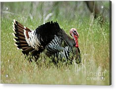 902p Wild Tom Turkey Acrylic Print