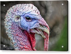 Turkey Acrylic Print by Rick Mosher