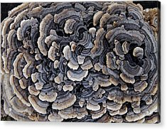 Turkey Tail Abstract Acrylic Print by Annette Gendler