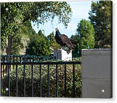 Turkey Vulture 3 Acrylic Print by Steve Knievel