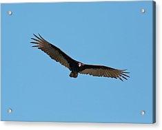 Turkey Vulture (cathartes Aura) In Flight Acrylic Print by Bob Gibbons