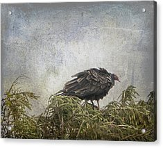 Turkey Vulture Looking For Dinner Acrylic Print by Betty  Pauwels