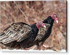 Turkey Vultures Acrylic Print by Bill Wakeley