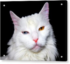 Acrylic Print featuring the photograph Turkish Angora by Aurelio Zucco