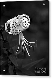 Turk's Cap Lily In Black And White Acrylic Print