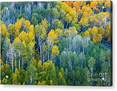 Turning Aspens At Dunderberg Meadows Acrylic Print