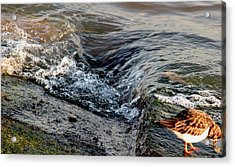 Turnstone By The Water Acrylic Print