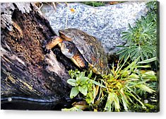 Acrylic Print featuring the photograph Turtle 1 by Dawn Eshelman