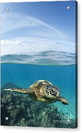 Turtle At Black Rock Acrylic Print