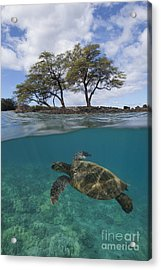Turtle At Makena Landing Acrylic Print