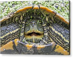 Turtle Covered With Duckweed Acrylic Print