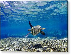 Turtle Cruise Acrylic Print by Sean Davey