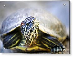 Turtle Acrylic Print by Elena Elisseeva