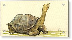 Turtle Galapagos Acrylic Print by Juan  Bosco