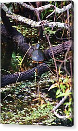 Turtle In The Glades Acrylic Print by Chuck  Hicks