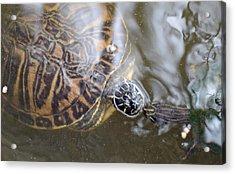 Turtle Kiss Acrylic Print by Julie Cameron