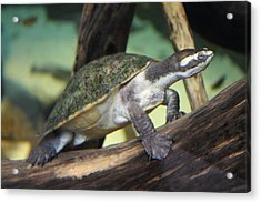 Turtle - National Aquarium In Baltimore Md - 121211 Acrylic Print by DC Photographer
