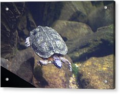 Turtle - National Aquarium In Baltimore Md - 121212 Acrylic Print
