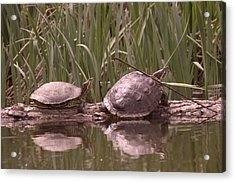 Turtle Struggling To Rest On A Log With Its Buddy Acrylic Print by Jeff Swan