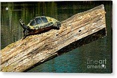 Turtle Sunning On The Log Acrylic Print