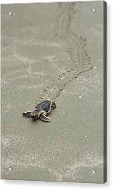 Turtle Tracks Acrylic Print by Patricia Schaefer