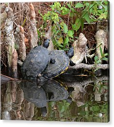 Turtles  Acrylic Print by Julie Cameron
