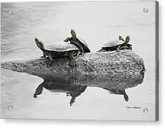 Turtles Acrylic Print by Steven Clipperton