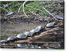 Turtles Acrylic Print by Terrance Byrd