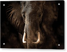 Tusker Acrylic Print by Bjorn Persson