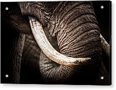 Tusks And Trunk Acrylic Print by Mike Gaudaur