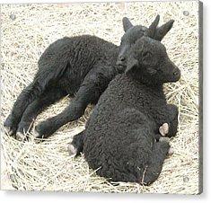 Twin Black Lambs Acrylic Print by Cathy Long