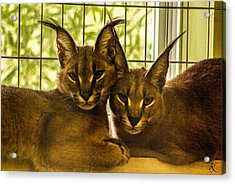 Twin Caracals Acrylic Print by Kelly Smith