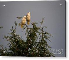 Twin Cockatoos Acrylic Print by Bev Conover