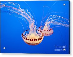 Twin Dancers - Large Colorful Jellyfish Atlantic Sea Nettle Chrysaora Quinquecirrha  Acrylic Print